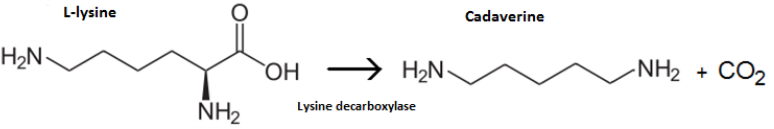 Cadaverine synthesis