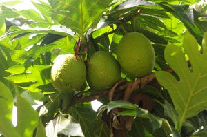 What is a raw food diet - it is a rainbow food - breadfruit