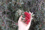 What is buffaloberry - buffaloberry branch