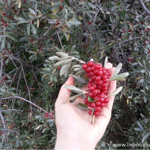 What is buffaloberry: its effects on health plus unexpected uses
