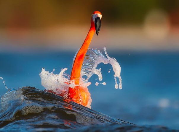 What is astaxanthin - It keeps flamingos nice and vermilion