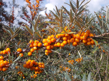 Additional sources of vitamin B12 for vegans (and raw vegans too!) - sea buckthorn