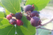What is a Saskatoon berry? I'd say a kid of blueberry and apple