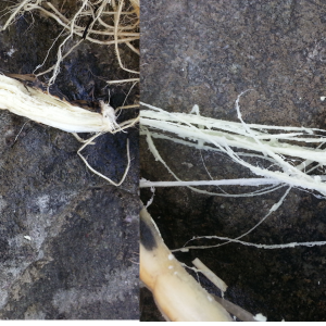 Photos of edible cattail roots & how to harvest them