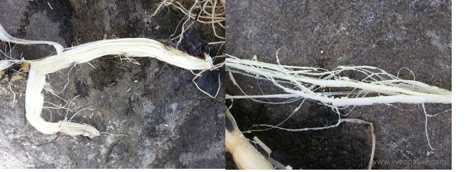 Edible cattail roots - peel