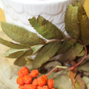 About rowan berries: make wine, coffee, and remove radiation-related damages from the body