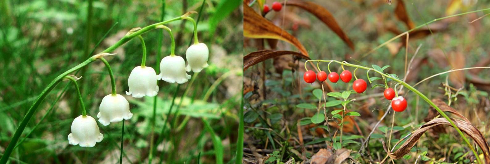 3 common veggies that can be eaten raw - 3 common veggies that can be eaten raw - lily-of-the-valley
