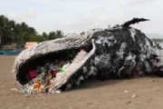 This Whale Was Killed by Plastic
